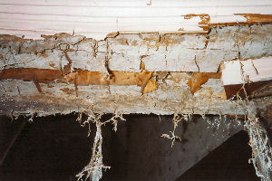 Picture of dry rot timber infestation